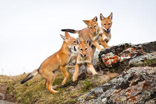 Four Wolf Pups
